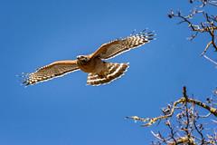Lift Off (alicecahill) Tags: ca california usa wild wildlife ©alicecahill nationalpark montereycounty bird pinnaclesnationalpark animal raptor hawk redshoulderhawk