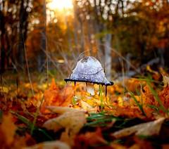 Infected mushroom (christianviktorsson) Tags: canon 50d 1855 mushroom autumn sun leaf