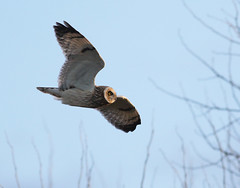 A87A2236 Short-eared Owl (steve.ray50) Tags: 2018 ancienthighway sandwich