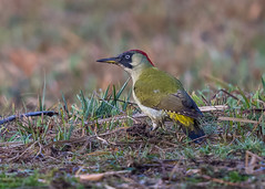 Green Woodpecker ( Picus viridis )  Female (Dale Ayres) Tags: green woodpecker picus viridis bird nature wildlife