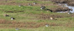 lapwings and golden plover (steven.heywood) Tags: lapwing peewit plover goldenplover