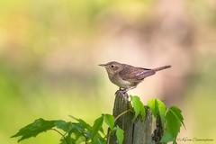 House Wren (hey its k) Tags: 2018 birds dundas dundasvalleyconservationarea housewren nature wildlife hamilton ontario canada ca img2207e canon6d tamron 150600mm wren