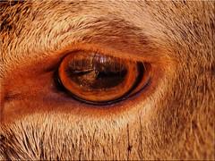 The eye of a deer with reflections (Ostseetroll) Tags: deu deutschland geo:lat=5395199355 geo:lon=1003104755 geotagged schleswigholstein weide wildparkeekholt auge hirsch spiegelungen eye deer reflections olympusem5markii