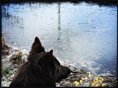 a cold November morning (Jos Mecklenfeld) Tags: ice ijs hond dog hollandseherder dutchshepherd totoro hipstamatic animals nature
