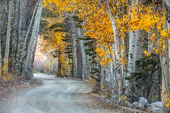 The Aspen Tunnel (Kirk Lougheed) Tags: california easternsierra inyocounty northlake populustremuloides usa unitedstates aspen autumn conifer fall landscape outdoor road tree