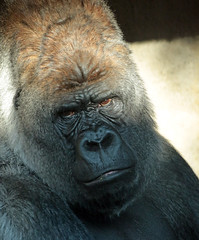 western lowlandgorilla Bokito  Blijdorp 094A0917 (j.a.kok) Tags: gorilla westelijkelaaglandgorilla westernlowlandgorilla lowlandgorilla laaglandgorilla animal africa afrika aap ape mammal monkey mensaap zoogdier dier bokito silverback zilverrug blijdorp