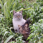 Gatetes #barcelonagatigos  #gatos #gatoscallejeros #cats #photocats #instacats #neko #meow #gatze #gatto #koshka #catsofworld #catsofinstagram #streetcats #catsofworld #siames #siamestabbypoint #tabbypoint #gatosdecolonia #gatosferales thumbnail