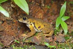 Amboli toad (harshithjv) Tags: frog toad amphibian anurans xanthophryne tigerina bufonidae canon 80d tamron macro 90mm amboli godox tt685 diffuser