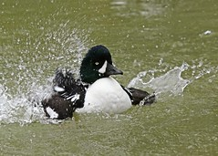 Splash! (hennessy.barb) Tags: goldeneye duck waterfowl bath bathing nature wildlife pond lake lakelife pondlife splash