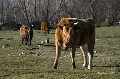 _DSC2547 (Rodo López. Fotero... instantes en un clic) Tags: animalesenelbierzo animales elbierzo españa explore excapture elcampo nikon naturaleza nature nostalgia naturebynikon caballos vacas