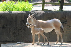Persian Onager at Cleveland Metroparks Zoo - Cleveland, Ohio (FitchDnld) Tags: persian onager persianonager animal mammal cleveland clevelandohio clevelandmetroparkszoo clevelandzoo clevelandmetroparks metroparks zoo ohio ohiozoo