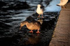 * (Gwenaël Piaser) Tags: paris november 2018 novembre november2018 parigi france francia îledefrance 85mm 85mmf18 canonef85mmf18usm ef85mmf18usm ef85mm usm ef85mmusm canonef85mm118usm prime unlimitedphotos gwenaelpiaser canon eos 6d canoneos eos6d canoneos6d fullframe 24x36 reflex rawtherapee duck canard seine river fleuve city water eau bird oiseau outdoor walkby bokeh flou 1000