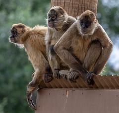 006_Spider Monkeys.jpg (Howard Sumner) Tags: litchfieldpark wildlifeworldzoo arizona spidermonkey zoo primate animal