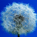 Dandelion with a Million Water Drops thumbnail