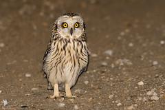 Short-eared Owl - Coruja-do-nabal (anpena) Tags: fotospostasnoflickr birdofprey owls shortearedowl