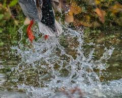 a little late (pstrock1) Tags: morning duck wild wildlife power fly nature water drake field mallard jump bird wings marsh