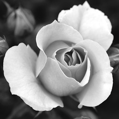 Monochrome Square Rose (Julia_Kul) Tags: white rose flower black monochrome square isolated floral summer outdoor closeup natural blossom spring garden flora background beautiful nature pattern single close up light fresh abstract love macro plant bloom still photography botanical delicate contrast beauty petal romantic romance macromondays center bw centersquarebw