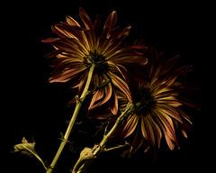 Wayfarers 1003 (Tjerger) Tags: nature flower flowers bloom blooms blooming plant natural flora floral blackbackground portrait beautiful beauty black green fall wisconsin macro closeup yellow brown wayfarer wayfarers