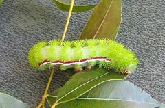 Automeris io --   Io Moth Caterpillar 0339 (Tangled Bank) Tags: palm beach county florida wild nature natural outdoors automeris io moth caterpillar 0339 insect lepidoptera