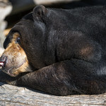 Sun bear comfortable on the log thumbnail
