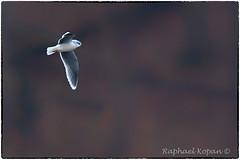 A very distant little gull (EXPLORE, Dec 22 2018, #59) (RKop) Tags: cesarcrick ohio raphaelkopanphotography d500 600mmf4evr 14xtciii tripod nikon