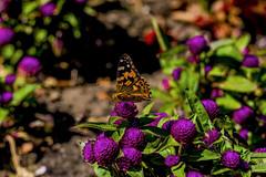 Butterfly (ost_jean) Tags: ostjean nikon d5300 tamron sp 90mm f28 di v vlinder papillon belgium duinbergen westvlaanderen