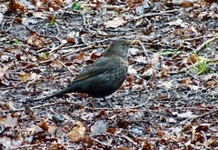 Blackbird, Monmouthshire-Brecon Canal, Long Tunnel, Pontnewydd, Cwmbran 16 January 2019 (Cold War Warrior) Tags: blackbird juvenile canal pontnewydd cwmbran