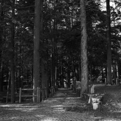 Forest Park (lebre.jaime) Tags: portugal beira covilhã forest park tree hasselblad 500cm distagon c3560 film 120 film120 mf mediumformat analogic kodak trix trix120 iso200 6x6 square squareformat format blackwhite bw ptbw noiretblanc epson v600 affinity affinityphoto
