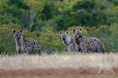 Spotted Hyenas (fascinationwildlife) Tags: animal mammal wild wildlife nature natur national park addo south africa sü summer südafrika morning spotted hyena tüpfelhyäne hyäne predator elephant eastern cape afrika patrol raubtier