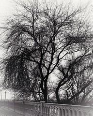An interesting tree in the misty morning 💕 (Photolover03) Tags: blackwhite photo budapest tree misty winter morning elizabeth bridge
