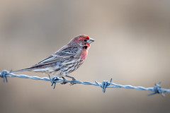 Finch on a wire