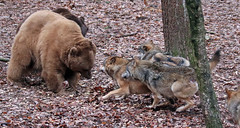 brown bear and Europaen wolf Ouwehands 094A0578 (j.a.kok) Tags: bear beer bruinebeer brownbear europe europa europeanwolf europesewolf wolf animal ouwehands mammal zoogdier dier predator