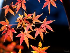 Winter light (takapata) Tags: olympus em5 m60mm f28 macro nature autmn leaves ngc
