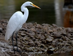 Cattle egret (thomasgorman1) Tags: bird egret white nature river shore rocks animal nikon az arizona colorado