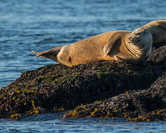Seals on a rock (Oleg S .) Tags: rock canada nature sunset seal animal