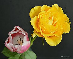 DSC_0463_Rose_and_tulip (orsapolaris54) Tags: flower flowers flowerphotography nature naturephotography rose rosephotography tulip flowerlovers