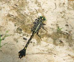 Blackwater clubtail, male (Gomphus dilatatus) (Vicki's Nature) Tags: blackwaterclubtail male big dragonfly ground sand biello georgia vickisnature canon s5 9673 greeneyes