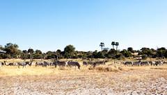 Stripe Heard _6846 (hkoons) Tags: kubuisland kukomeisland lakemakgadikgadi lekhubuisland makgadikgadipan nationalpark nxaipannationalpark nxaipan southernafrica suapan africa botswana sowa sua zebra animal animals beast herbivore landscape mammal outdoors outside pan panorama stripes zebras