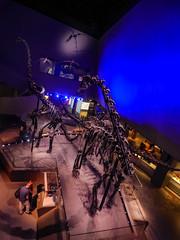 At the Lee Kong Chian Natural History Museum (Steve Taylor (Photography)) Tags: asia singapore leekongchiannaturalhistorymuseum model replica museum brown blue mauve city perspective bones fossil dinosaur naturalhistory skeleton
