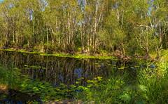 aspects of bongaree (paperbark wetlands) #3 (Fat Burns ☮) Tags: landscape swamp paperbarkforest melaleucaquinquenervia wetlands bongaree bribieisland melaleuca paperbarktrees nikond850 nature trees nikon2401200mmf40