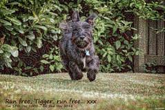 Run free, Tigger, run free (ttarpd) Tags: tigger dog pet canine faithful four legged friend companion scottish terrier jack russell domestic animal