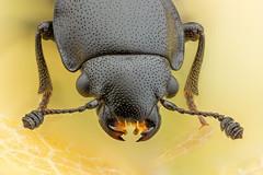 Glischrochilus quadripunctatus (Libor Kubát) Tags: glischrochilus lesknáček