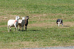 SZP_1141_pslr5 (Lakeside Annie) Tags: 11102018 2018 20181110 70300mm 70300mmf4556 d750 fall huntersville huntersvillenc leannefzaras nc nikkor nikkor70300mmf4556 nikkorlens nikon nikond750 northcarolina november10 ruralhill sarazphotography saturday sheepdog sheepherdingtrials bordercollie dog dogfestival herding sheep sheepherding shepherd