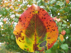 autumn design (october blue (away)) Tags: leaf autumn peartree thegalaxy