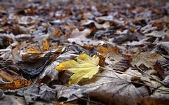 Leaves / Blätter (ingrid eulenfan) Tags: blätter leaves herbst autumn laub