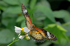 Cethosia cyane - the Leopard Lacewing (female) (BugsAlive) Tags: butterfly mariposa papillon farfalla schmetterling 蝴蝶 бабочка conbướm ผีเสื้อ animal outdoor insects insect lepidoptera macro nature nymphalidae cethosiacyane leopardlacewing female heliconiinae wildlife lamnamkoknp ผีเสื้อในประเทศไทย chiangrai liveinsects thailand thailandbutterflies bugsalive ผีเสื้อกะทกรกธรรมดา