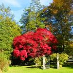 Brilliant Red Japanese Maple thumbnail