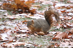 Fox Squirrels in Ann Arbor on an Autumn day at the University of Michigan - November 29th, 2018 (cseeman) Tags: gobluesquirrels squirrels foxsquirrels easternfoxsquirrels michiganfoxsquirrels universityofmichiganfoxsquirrels annarbor michigan animal campus universityofmichigan umsquirrels11292018 fall autumn eating peanuts acorns novemberumsquirrel snow snowy
