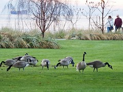 The Geese are Back ... (Irene, W. Van. BC) Tags: thegeeseareback canadageese geese largebirds wildfowl fowl waterfowl seawalk green grass shrubs shrubbery wonderfulnature birds birdsofafeather birdwatch birdsofbc bcbirds pacificcoastbirds parkscenes outdoors outdoorscenes water waterscenes ocean oceanwater oceanscenes oceanwalk trees treesilhouettes treebranches people westvancouverbc awesomenature 1001nights 1001nightsmagiccity 1001nightsmagicpeacock transportship