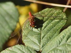 2018_10_0306 (petermit2) Tags: commondarterdragonfly commondarter dragonfly pottericcarr potteric doncaster southyorkshire yorkshire yorkshirewildlifetrust wildlifetrust ywt